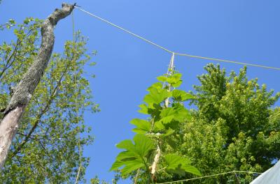 Growing hops higher than we have before. Hopefully this will lead to improved plant health and easier management.