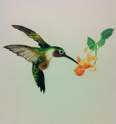Last Drink of Summer; A hummingbird feeding from orange jewelweed. Painting by Rose Moore, Knox County Master Naturalist