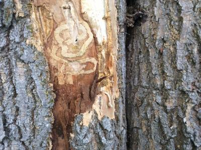 The serpentine feeding galleries created in the plant tissue just beneath the bark. The feeding cuts off movement of water and nutrients, killing the ash tree. (Look closely you can see a little EAB larva in the bottom right)