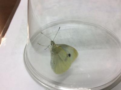 Imported cabbage moth, the adult form of the imported cabbage worm.