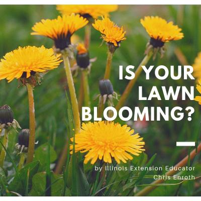 Lawn Blooming