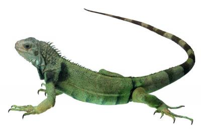 lizard two