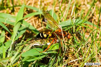 Cicada Killer-DSwan-Smlr
