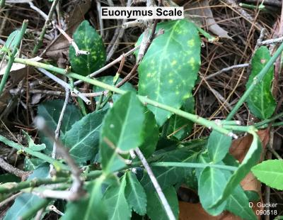 EuonymusScale