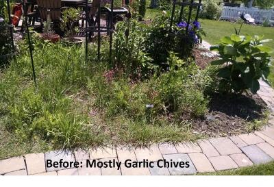 Garlic chive garden before
