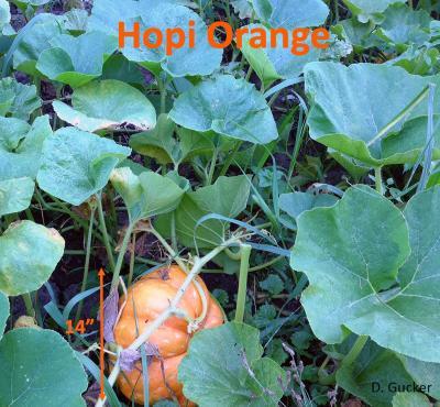HopiOrange1-lo