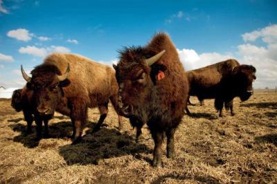 Lieb-Bison