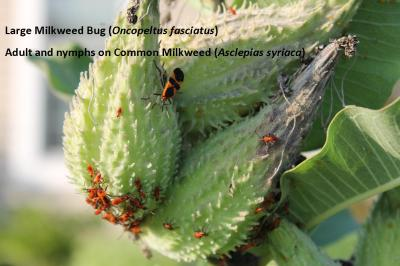 Milkweed bug adult and nymphs