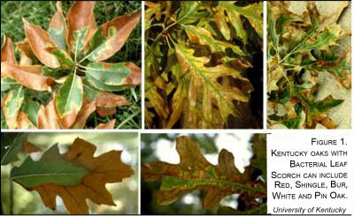 Oak-Leaf Scorch