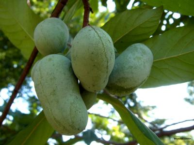 Pawpaw-FruitInTree