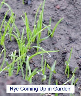 Rye-seedlings-Garden