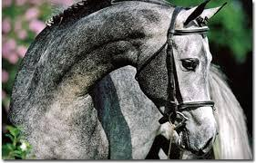 Horse grey