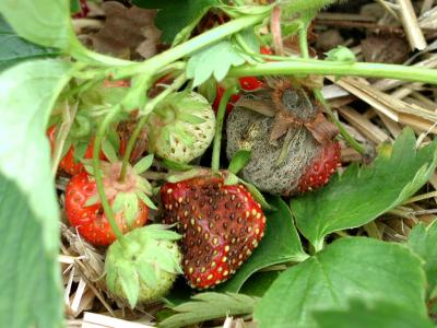 AnthracnoseStrawberry