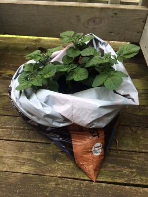 Potatoes Compost