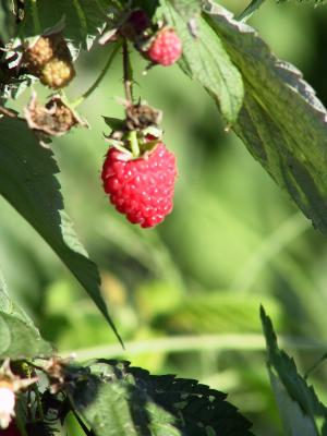 raspberry2