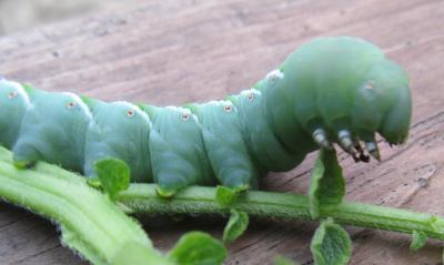toma hormworm