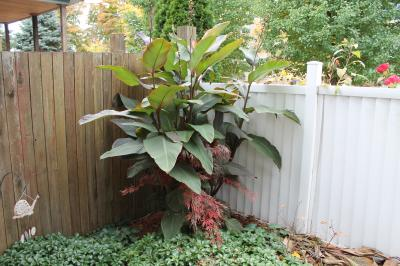 Photo 1-Existing Cannas in ground filling in space while my Japanese Maple gets established