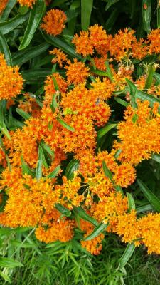 butterflyweed-in-bloom