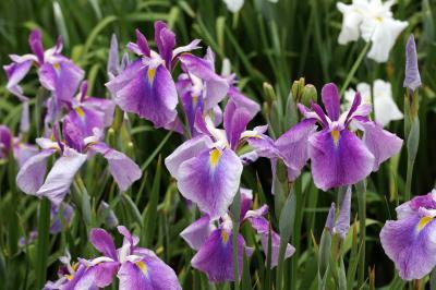Iris smaller