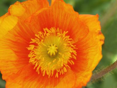 bigstock-Orange-Oriental-Poppy-193914 smaller