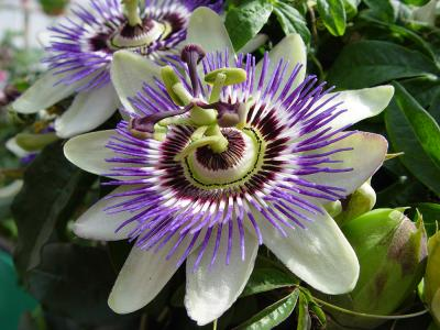 bigstock-Passion-Flower-148281 smaller