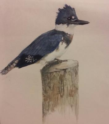 Belted Kingfisher Illustrated by Rose Moore MN