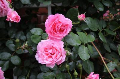 Climbing Roses at Iles