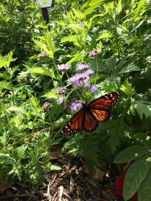 Monarch 2017  768x1024