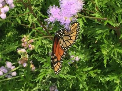 Monarch ageratum