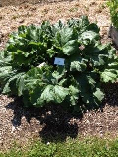 Rhubarb  2