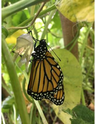monarch  emerged