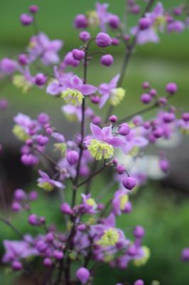 014 Thalictrum rochebrunianum cv Lavender Mist