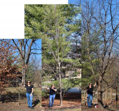 Cherry Rootstocks Gisela5 Mahalab Seedling