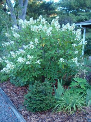 Hydrandea  paniculata cv Tardiva DSC01947