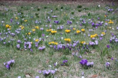 Late March  crocus and dwarf iris