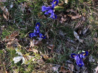 Lawn art using Dwarf Iris  Iris reticulata