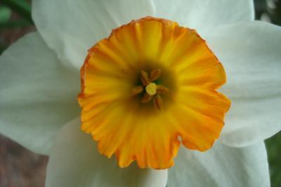 Narcissus cv Rockall - Daffodil 3 W-R Small-Cupped 11