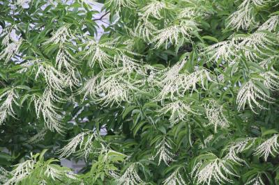 Oxydendrum arboreum - Sourwood Reduced IMG 5134