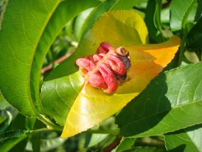 Peach Leaf Curl 12