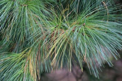 Pinus strobus - Eastern White Pine Reduced IMG 2483