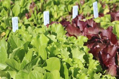Transplants Lactuca sativa cv Tropicana - Standard Heat-tolerant Green Leaf Lettuce IMG 3168