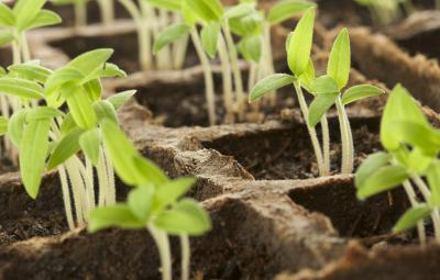bigstock-Sprouting-Plants-in-a-Row-11933294