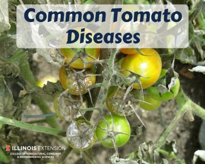 CommonTomatoDiseases