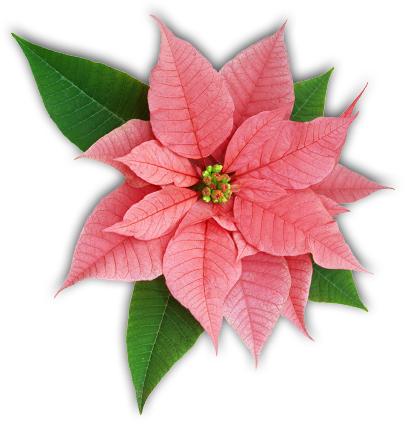 Poinsettia Facts The Poinsettia Pages University Of