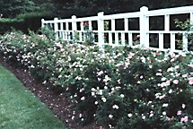 Carefree Delight shrub rose hedge