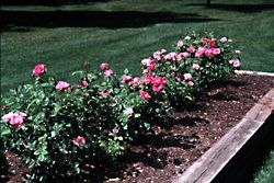A Site That Provides Full Sunlight, Good Air Circulation, And A Well  Drained Soil High In Organic Matter Is Ideal For Growing Roses. Roses  Should Receive At ...