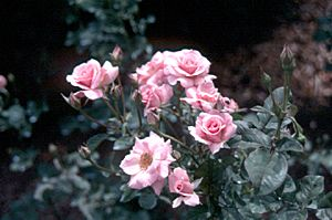 Dr. Griffith Buck Roses