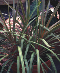 http://urbanext.illinois.edu/tropicalpunch/images/cordyline1.jpg