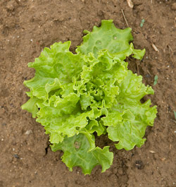 Lettuce Illinois Vegetable Garden Guide University Of Illinois