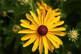 Introduction - WildFlowers - University of Illinois Extension